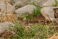 20140885 (katyarud) Tags: animals israel  hermon      gunthersvole microtussocialisguentheri