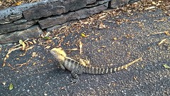Eastern Water Dragon  (jlau_lau) Tags: plants green water animal garden dawn afternoon dragon outdoor australian lizard botanic         reptail