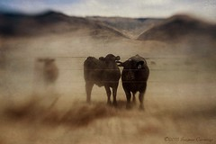 Cattle Call (SLEEC Photos/Suzanne) Tags: california ranch animal lensbaby fence cow cattle western barbedwire steer range textured owensvalley benton blackangus flypaper cattlecall