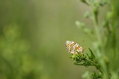 Mlite du plantain (Panini aux olives) Tags: nymphalidae nymphalinae rhopalocres mliteduplantain melitaeacinxialinnaeus1758 papillondejour
