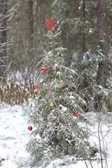 Hersey Lake Christmas Tree (Gerald (Wayne) Prout) Tags: christmas lake canada tree canon festive conservation trail area hikers decorate walkers spruce timmins northernontario prout hersey sprucetree canoneos60d herseylake herseylakeconservationarea cityoftimmins geraldwayneprout
