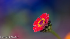 Simply red (frederic.gombert) Tags: zinnia blue color colors light sun sunlight red pink flower flowers colorful colored macro nikon d810