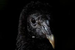 The vulture (aleadam) Tags: vulture face beak eye dark unlit black