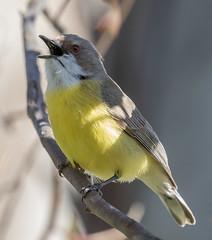 white-throated gerygone (Gerygone olivacea) -5838 (rawshorty) Tags: rawshorty birds canberra australia act campbell