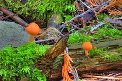 The Orange Shrooms (David K. Edwards) Tags: mushroom orange forest britishcolumbia canada twigs stems debris detritus sticks branches wood decay