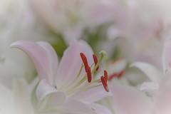 Fleur de lis (icodac) Tags: canon eos5d 5dmarkii 100macro 5dmkii ef100mmf28lmacroisusm tarn fleurs lis lys fleurdelis nature