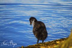 Little Baby Duck 1 (naomiburgess) Tags: ducks duck baby babyduck animal animals wildlife photo photos photography