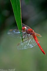 Dragonfly (boze610 [ free tibet ] [in giro per il mondo]) Tags: dragonfly libellula insetto insect naturalmente natura nature naturallight natural animali australia animals animale wild greatphotographers groccaphoto