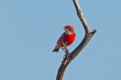 Crimson Chat (Epthianura tricolor) (Keefy2014) Tags: crimson chat epthianura tricolor gabyon