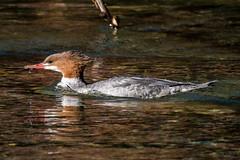 Mergansers of Taylor Creek (MelRoseJ) Tags: southlaketahoe california unitedstates laketahoe commonmerganser birds a77ii alpha autofocus sonyalpha sal70400g sony sonyilca77m2 nature