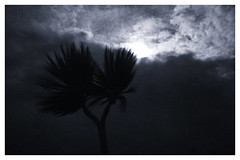 Palm Tree on a windy night (scilly puffin) Tags: palm tree windy cloudy clouds moon moonlight moonlit islesofscilly stmarys