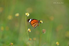 Sweet Nature... (Anirban Sinha 80) Tags: nikon d610 500mm ed vr ii n butterfly bokeh flower nectar