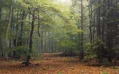 Light Catcher in Autumn (Netsrak) Tags: tree trees baum bume wald forst woods forest mist fog nebel haze dunst misty foggy neblig eifel licht light autumn autumnal herbst herbstlich fall nature natur leaf leaves blatt bltter landscape landschaft