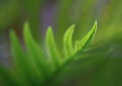 Tout en tendresse (CcileAF) Tags: canon colour nature furns green wild autumn macro bokeh dreamy leaves tamron