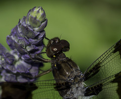 DragonFly_SAF7829 (sara97) Tags: dragonfly flyinginsect insect missouri mosquitohawk nature odonata outdoors photobysaraannefinke predator saintlouis towergrovepark copyright2016saraannefinke
