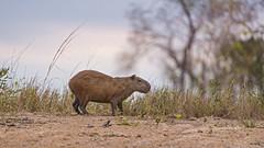 Capybara in the nice light (Tambako the Jaguar) Tags: capybara big rodent sand profile vegetation branches sunset sky wildanimal wild wildlife nature pantanal matogrosso brazil nikon d5