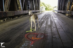 Little Sweetheart (houndstooth4) Tags: dog greyhound bunny coveredbridge dogchal ddc odc