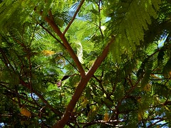 Flammenbaum (Delonix regia) an einer Strae in Puerto de la Cruz; Teneriffa (29) (Chironius) Tags: spanien teneriffa puertodelacruz gegenlicht rosids fabids fabales schmetterlingsbltenartige fabaceae hlsenfrchtler johannisbrotgewchse caesalpinioideae caesalpinieae delonix flammenbaum delonixregia baum bume tree trees arbre  rbol arbres  rboles albero  rvore aa boom trd laub frucht fruit frutta owoc fruta  frukt meyve    buah spain  espaa tenerife