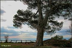 Tree of life (Maurizio Longinotti) Tags: treeoflife tree albero pino pine pinomarittimo semaforonuovo montediportofino parcodelmontediportofino landscape seascape liguria cielo sky nuvole clouds marligure mare sea italia italy