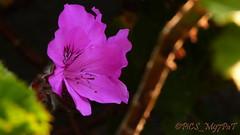 Azale - Rhododendron (PiCS_M97PaT) Tags: azalee azalea rhododendron flower floweroftheday flowerstagram fleurexotique exoticflower lesmackes lareunion reuniontourisme reunionisland gotoreunion ileintense iledelareunion reunionparadis nature naturephotography naturelovers ile974 island photolovers photography photographylovers photoftheday picsm97pat