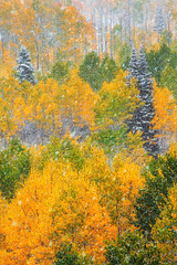 Autumn Aspens in snow (Paul Gana) Tags: colorado aspens snow trees weather cold autumn gold yellow forest nature landscape crested butte crestedbutte