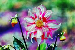 IMG_3086 Vibrant dahlia (Rodolfo Frino) Tags: dahlia dalia colo color colorful garden gardening depthoffield dof blurred argentina flor fiori blumen colourful colorido colores fondo vibrant vibrante spring natura natureza