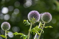Flower (Infomastern) Tags: klostertrdgrden ystad blomma bokeh flower