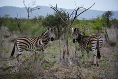(Marijke Clabots) Tags: roadtrip southafrica safari krugerpark kruger national park wildlife landscape animal zebra