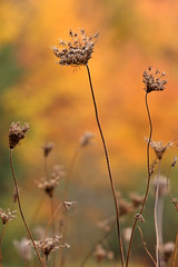 Dried up (cheryl.rose83) Tags: weed dried orange