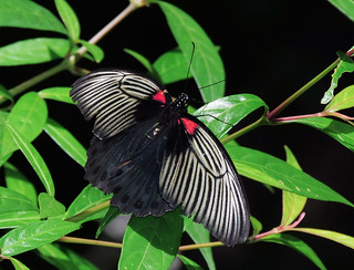 Papilio memnon (Great Mormon) Female form butlerianus (I guess) (MY-B004)