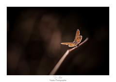 Sur le fil de la vie (Naska Photographie) Tags: naska photographie photo photographe paysage proxy proxyphoto papillon butterfly butterflie insectes extrieur nature sauvage forest foret bokeh color couleur