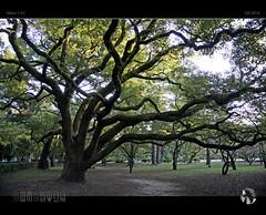 Ancient Tree II (tomraven) Tags: tree autumn silhouette ancient old pathway park kyoto tomraven aravenimage tomraveninjapan q42016 nikon1 v2