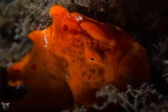 painted frogfish (AlistairKiwi) Tags: painted frogfish anglerfish bare island sydney nsw australia fish macro scuba diving dive underwater underwaterphotography canonefs60mmmacro canoneos7d antennarius pictus