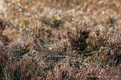 Feux follets (Marc Haegeman Photography) Tags: heather light feuxfollets liszt hogeveluwe dewdrops sunrise nikond800 marchaegemanphotography nederland gelderland spiderweb nature outdoor field colorful sparkling contrejour backlighting