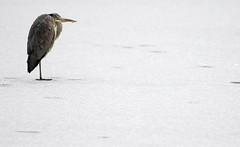 urn:newsml:dpa.com:20090101:130209-90-005170 (emiliamilly-milovanovich) Tags: wetter vögel reiher schnee eis eisfläche hamburg deutschland