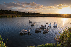 Swan family at sunset (gillian.pullinger) Tags: swan swans cygnets family bird birds muteswan canal basingstokecanal eelmoorflash hampshire wildlife sunset