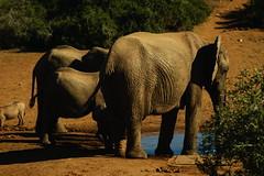 DSC03780 (Emily Hanley Photography) Tags: elephant elephants addo elephantpark nationalpark sa southafrica africa photography colour warthogs buffalo zebra waterhole rawimages raw nature naturalphotography animals animal