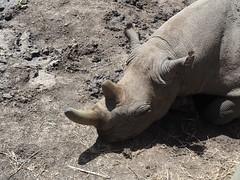 Ol Pejeta Conservancy (Laika ac) Tags: olpejetaconservancy kenya africa rhino blackrhino baraka