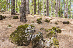 Moss-covered stones in the pine forest (Ivanov Andrey) Tags: mountain hill slope sunset evening tree pine pines forest needles rock sky stone sand island black sun noon blue landscape ascent descent shadow nature traveling walk travel spain canaryislands tenerife