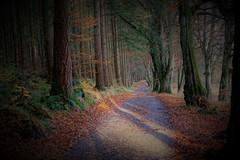 Road to Delgatie Fishery. (artanglerPD) Tags: tree trunks ferns branches dark road fishery sunlight fallen leaves