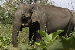 Elephant at Mudumalai (code_martial) Tags: d3300 1685mmf3556gvr ooty2016 shotbynazia mudumalai elephasmaximus elephant