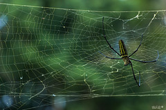 Spiderman (Ubaan) Tags: spider araigne indonsie indonesia travel trip asia asie nature