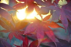 sunburst (christiaan_25) Tags: sun sunburst sunlight light glow rays golden japanesemaple acerpalmatum leaves leaf tree woods forest backlit red crimson scarlet bokeh autumn fall sunshine shadow bright dark alive transition change season mortonarboretum plant foliage outdoor depthoffield irohamomiji  momiji