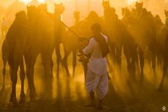 Pushkar Tales (subodh shetty) Tags: pushkar rajasthan india incredibleindia rajasthantourism indiatourism desert camels fair festival culture traditions sunset light nikon nikkor d5 70200 travel photography people places