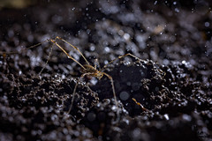 Harvestmen of the storm. (mattd85) Tags: harvestmen opilione opiliones arachnids arachnid backlight backlit offcameraflash macro venus 21macro canon6d nature wildlife
