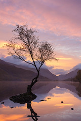 Llyn Padarn Tree (Carl Hall Photography) Tags: autumn landscape llynpadarn northwales reflection sunrise tree pink snowdonia still wales wideangle