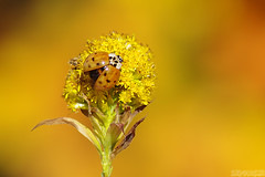 50 Shades of Yellow (Vie Lipowski) Tags: ladybug ladybird ladybeetle goldenrod solidagocanadensis solidagovirgaurea insect beetle bug weed flower wildflower wildlife nature macro