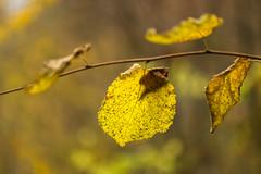 Herbst im Remstal (Gerosas) Tags: baum bedeckt bltter bokeh herbst herbstfarben laub makro makroplanart2100 november offenblende pflanze rems trbe unteresremstal waiblingen zeiss