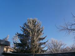Erster Schnee 3 (Thorte Berlin) Tags: ersterschnee schnee bume baum pflanze pflanzen berlin berlinzehlendorf zehlendorf steglitzzehlendorf frost deutschland germany firstsnow tree trees plant