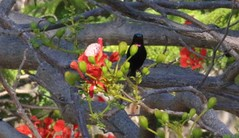 Sunbird Unknown purple throated (4) (mjohns17e) Tags: mafiaisland tanzania sunbird choleisland